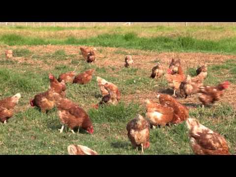 Free Range Egg Production – Case Study