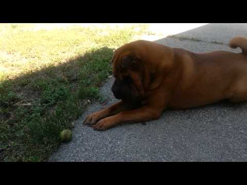 Nikko the Shar-Pei dog sneezes and rubs his eye...