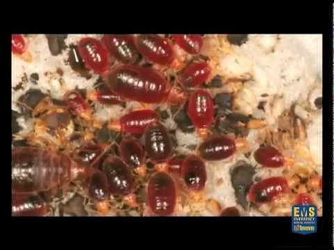 Bed Bugs Facts and Fiction