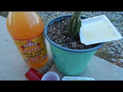 EASY LOW COST FUNGUS GNAT CONTROL PHYSICAL METHOD FIRST HOUSEPLANTS