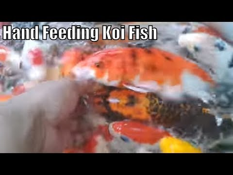 hand feeding koi fish will make you relax  and stress free