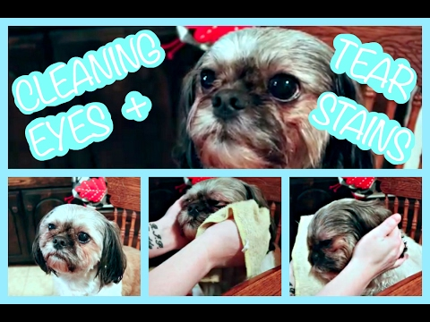 HOW TO CLEAN A SHIH TZU'S EYES & TEAR STAINS!