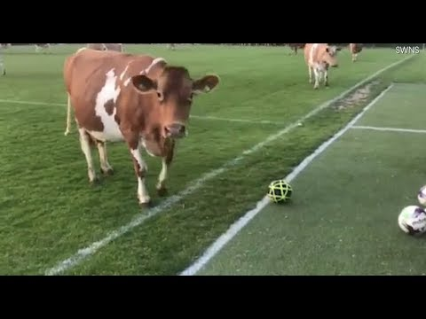Moove! Herd of Nearly 200 Cows Interrupted This Soccer Game