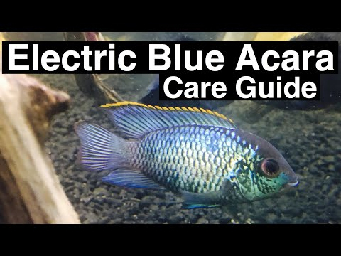Electric Blue Acara Cichlid Care Guide