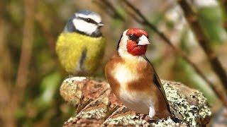 Videos and Sounds for Cats : Garden Birds Extravaganza