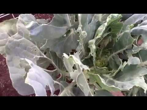 Brussels Sprouts and Cabbage Destroyed by Pests