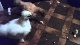 Baby Silkies Fighting Over Bread, Chicks