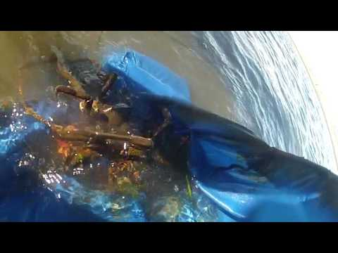 found two crabs mating while digging for geoduck clams in CA