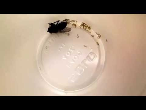 electric flyswatters make 100s of maggots evacuate the fly