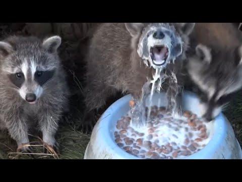 Man Feeds Raccoons Living Under His Deck