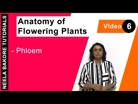Anatomy of Flowering Plants - Phloem