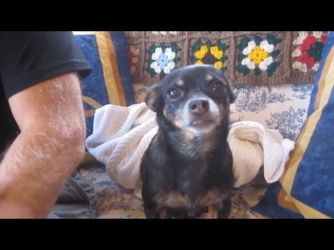 Doggy Dental Hygienist DIY Plaque Removal for our Chihuahua's Teeth