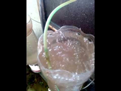 How to hatch Brine Shrimp Eggs Procedure 2