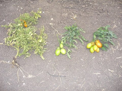 Hydration, Dehydration  or Water stress, The key to increasing yields while naturally reducing losse