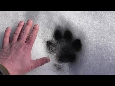 UK Big Cat Hunt March 2018 - Plus Trailcam Pick Up