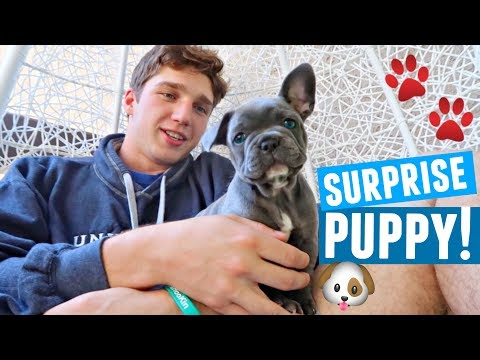 SURPRISING BOYFRIEND WITH NEW PUPPY! (Cutest Reaction) Blue French Bulldog!
