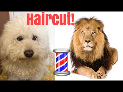 Cutting my dogs hair to look like a LION!!