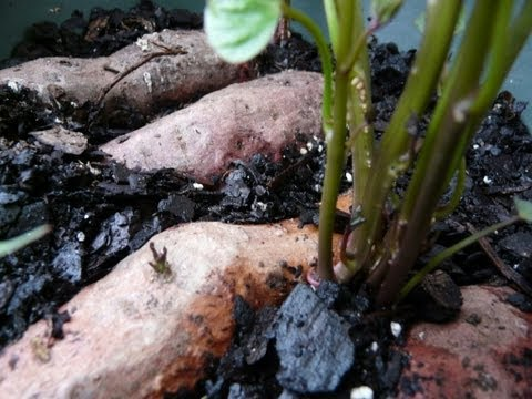 How To Grow Sweet Potatoes in Containers - The Easy Way!!!