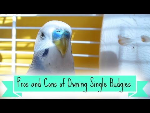 Pros and Cons of Owning Single Budgies