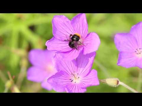 Blooms for Bees border at Ryton Organic Gardens