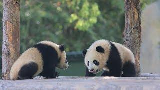 Do you want to name panda cubs?