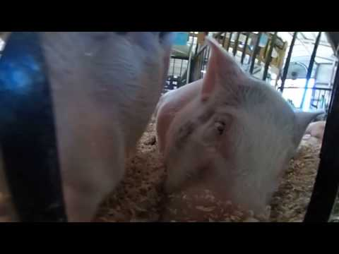 Kids Carnival Animals - VR Pigs in Your Face!