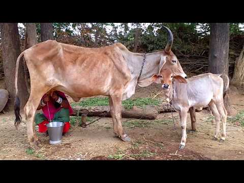 Village Life Of Rajasthan India | Rural Indian | Cow Milking | Beautiful Day