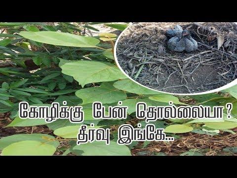 கோழிக்கு பேன் தொல்லையா?தீர்வு இங்கே| lice problems in Hen
