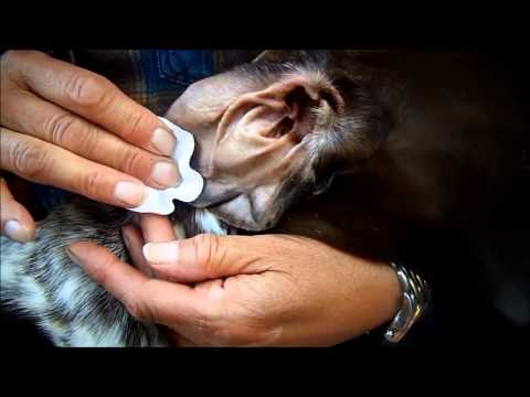 How To Keep Your Dogs Ears Clean Without Pain Or Hassle - Video Training