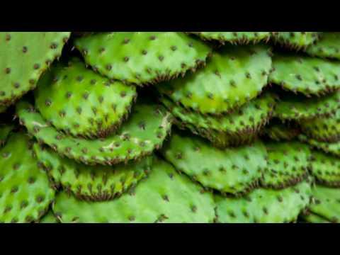 11 Impressive Benefits Of Nopales - Nopal Cactus Health Benefits