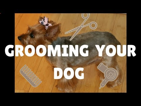 How To Groom A Yorkie With Anxiety At Home