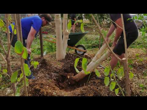 Ep151 - Moringa Taproot POWER! Digging up 2 Moringa Trees to transplant at Stonehaven Food Forest!