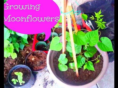 Growing Moonflowers
