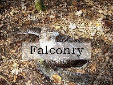 Falconry - My journey with a red-tailed hawk