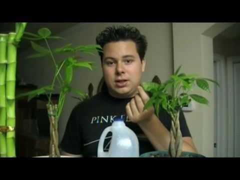 Money Tree: Tips