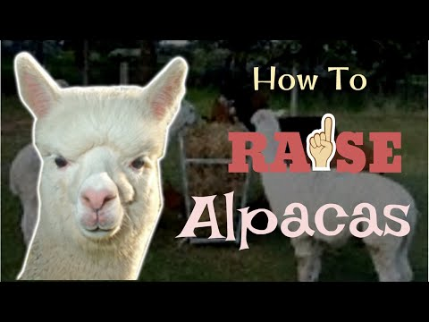 How To Raise Alpacas