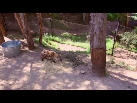 AJ Academy Hyena Adoption