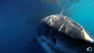 One of the Biggest Great Whites Ever Filmed   Jaws Strikes Back