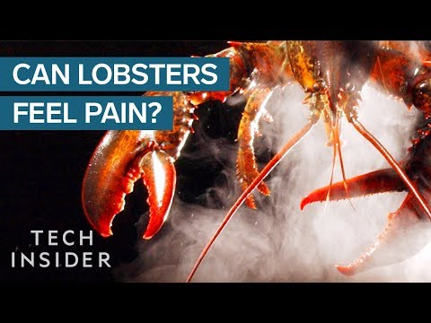 Why Do We Boil Lobsters Alive?