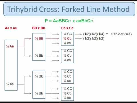 Genetics: Trihybrid Cross: The Forked Line Method