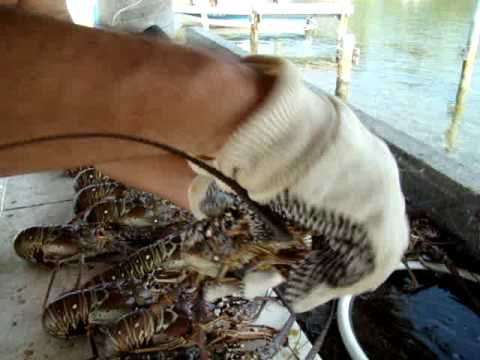 Spiny Lobster Cleaning Clinic