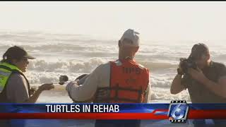 Cold-stunned sea turtles continue to be found in local waters
