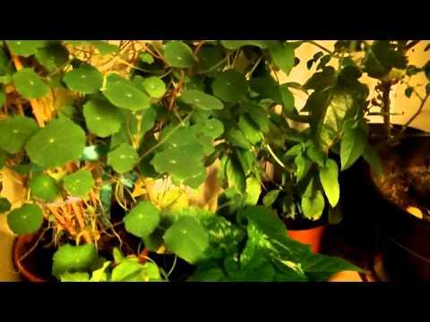 Winterstorage of Tomatoes