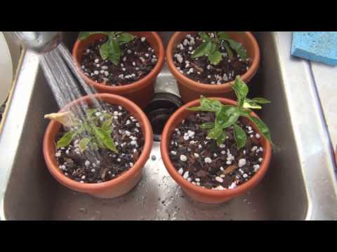 How to grow Grapefruit from seed repotting