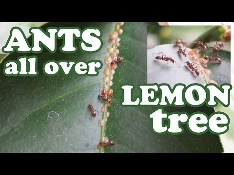 Red Fire Ants Army In Lemon Citrus Tree Eating Aphids Fungus - Insects Ant Bug Pest Control Killer