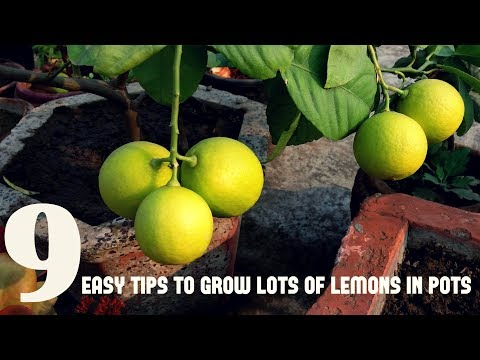 How To Grow Lemon in Pot (WITH ALL CARE TIPS)