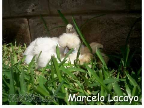 Silkie Chickens - About the Silkie Chicken Breed