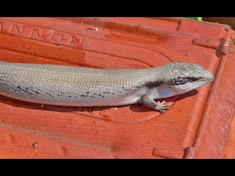 Rare Patternless Blue Tongue at the Lizard Lab