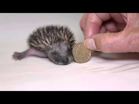 A Very Cute Baby Hedgehog!