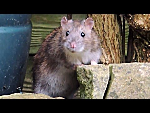 Cute wild rat steals bird food from my garden. Filmed on Nikon Coolpix P510 (low light)